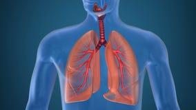 Anatomia dell'apparato respiratorio umano illustrazione di stock