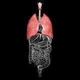 Anatomia dell'apparato respiratorio umano dei polmoni illustrazione di stock