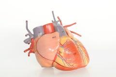 Anatomia dell'essere umano del cuore immagini stock