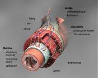 Anatomia dell'intestino illustrazione vettoriale