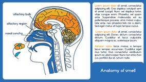 Anatomia dell'odore Dalla regione olfattiva al bulbo olfattivo Immagini Stock