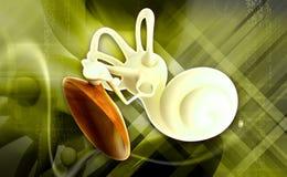 Anatomia dell'orecchio Fotografie Stock