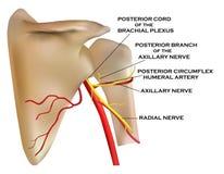 Anatomia dell'osso di spalla illustrazione vettoriale