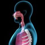 Anatomia della bocca Immagine Stock Libera da Diritti