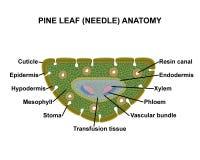 Anatomia della foglia del pino (ago) Immagine Stock