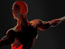 Anatomia della parte posteriore dell'essere umano Immagini Stock Libere da Diritti