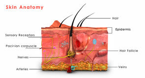 Anatomia della pelle identificata Immagine Stock