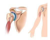 Anatomia della spalla illustrazione vettoriale