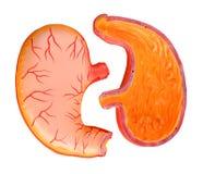 Anatomia dello stomaco Immagine Stock Libera da Diritti