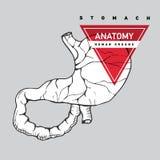 Anatomia dello stomaco dell'essere umano illustrazione di stock