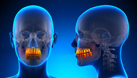 Anatomia dental dos dentes fêmeas - conceito azul Imagens de Stock