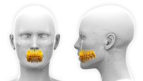Anatomia dental dos dentes fêmeas - isolada no branco Foto de Stock