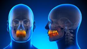 Anatomia dental dos dentes masculinos - conceito azul Imagem de Stock Royalty Free