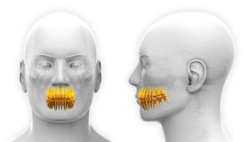 Anatomia dental dos dentes masculinos - isolada no branco Imagem de Stock Royalty Free