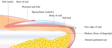 Anatomia detalhada do prego Fotos de Stock