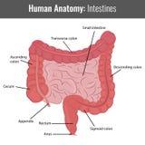 Anatomia detalhada dos intestinos humanos Vetor médico Fotografia de Stock