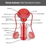 Anatomia detalhada masculina do sistema reprodutivo Vetor médico Fotografia de Stock Royalty Free