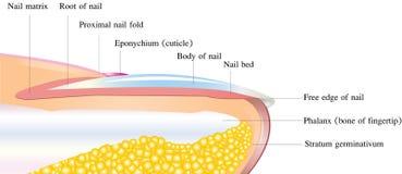 Anatomia dettagliata del chiodo Fotografie Stock