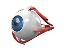 Anatomia di dissezione dell'occhio umano illustrazione vettoriale