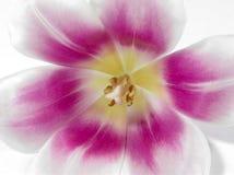 Anatomia di un tulipano Immagini Stock