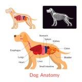 Anatomia do cão, órgãos internos ilustração royalty free