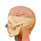 Anatomia do cérebro humano Foto de Stock