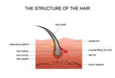 Anatomia do cabelo ilustração royalty free