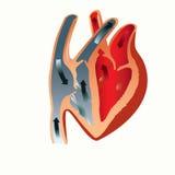 Anatomia do coração Fotos de Stock