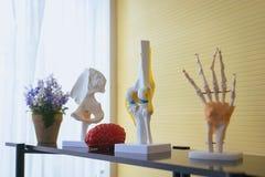 A anatomia do corpo humano do equipamento inclui o osso do dedo da mão, o modelo do cérebro para a pesquisa da educação e o estud foto de stock royalty free