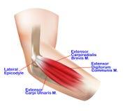 Anatomia do cotovelo lateral Foto de Stock