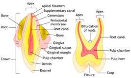 Anatomia do dente, vetor Fotos de Stock