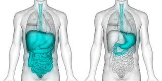 Anatomia do estômago do sistema digestivo dos órgãos do corpo humano ilustração do vetor