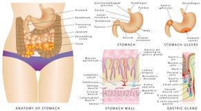 Anatomia do estômago Ilustração Royalty Free