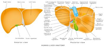 Anatomia do fígado ilustração stock