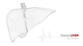 Anatomia do fígado humano no fundo branco Foto de Stock