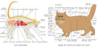 Anatomia do gato Ilustração Royalty Free