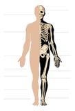 Anatomia do homem Imagens de Stock