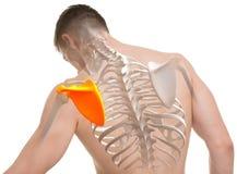 Anatomia do homem da omoplata isolada no branco foto de stock royalty free