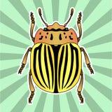 Anatomia do inseto Besouro de batata de Colorado da etiqueta Decemlineata do Leptinotarsa Esboço do besouro de batata de Colorado Fotos de Stock