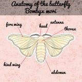 Anatomia do inseto Mori do Bombyx da borboleta da etiqueta Esboço da borboleta Projeto da borboleta para o livro para colorir bor Foto de Stock