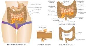Anatomia do intestino Ilustração Royalty Free