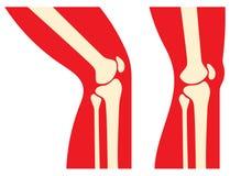 Anatomia do joelho Imagens de Stock