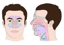 Anatomia do nariz ilustração stock