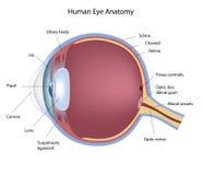 Anatomia do olho Fotografia de Stock