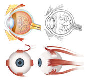 Anatomia do olho ilustração stock