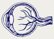 Anatomia do olho humano Imagens de Stock