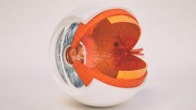 Anatomia do olho humano muito detalhada no seção transversal ilustração do vetor