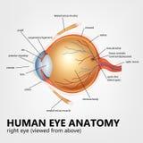 Anatomia do olho humano, olho direito visto de cima de Foto de Stock Royalty Free