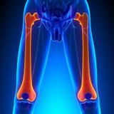 Anatomia do osso do fêmur com sistema circulatório Fotos de Stock Royalty Free