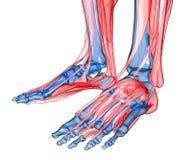 Anatomia do pé e do pé Foto de Stock